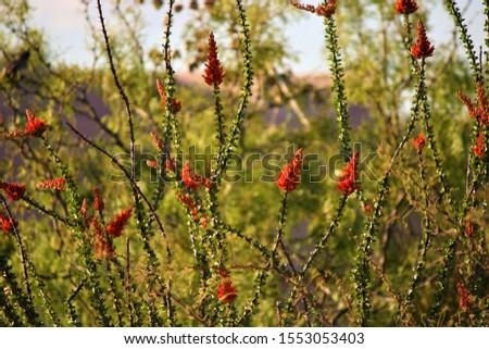 Desert flora and fauna, Ocatilla cacti, hibiscus. #1553053403