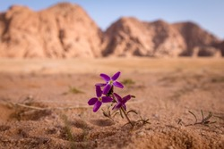 desert flower wadi rum jordan giordania concept solo alone wallpaper background