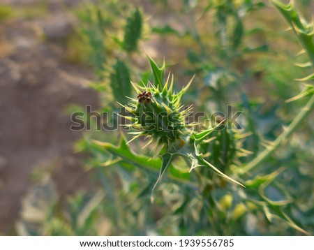 desert green plant with thorns and yellow flowers, plant with thorns concept