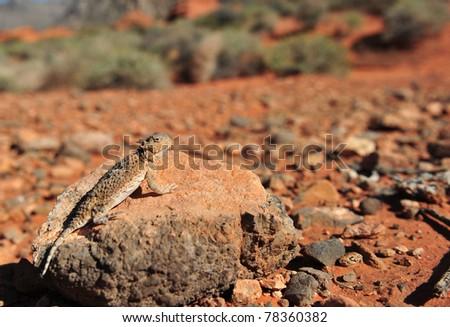 Desert Horned Lizard camouflaged on rock in desert, Valley of Fire National Park, Nevada, United States