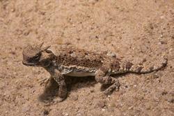 Desert Horned Lizard (Phrynosoma platyrhinos).