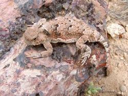 Desert Horned Lizard (Phrynosoma platyrhinos) - Utah, USA