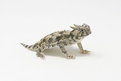 Desert Horned Lizard (Phrynosoma platyrhinos) White Background