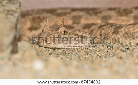 Desert horned viper close-up portrait