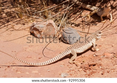 Desert Iguana making his presence known in the desert