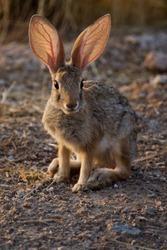 Desert jackrabbit listening for predators