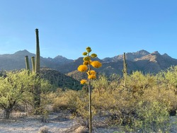 Desert Landscape  - Century Plant Blooming with yellow flowers, and background of Saguaro Cactus, and the Catalina Mountains at Sabino Canyon in Tucson, Arizona.