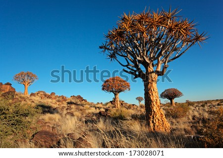 Desert landscape with granite rocks and quiver trees (Aloe dichotoma), Namibia