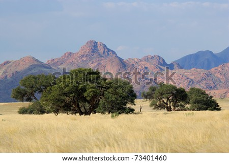 Desert landscape with grasses and African Acacia trees near Sossusvlei, Namibia, southern Africa