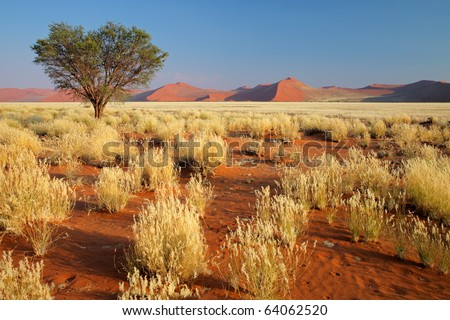 Desert landscape with  grasses, red sand dunes and an African Acacia tree, Sossusvlei, Namibia, southern Africa