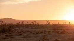desert landscape with joshua trees and sunset romantic colours