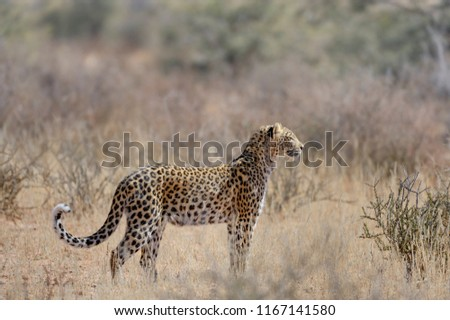 DESERT LEOPARD . Young female patrols in the kalahari desert, South Africa #1167141580