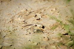 Desert lizard in camouflage