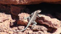 desert lizard in front of burrow