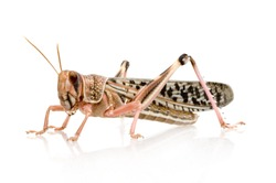 Desert locust in front of a white background