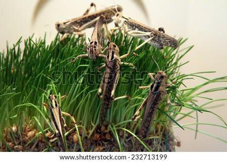 Desert locust (Schistocerca gregaria) eating green grass.