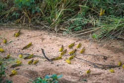 Desert Locusts on dirt road, after feeding on crops. It is a swarming short-horned grasshopper in the family Acrididae. Plagues destroy agricultural production in Africa, Samburu NP, Kenya, India.