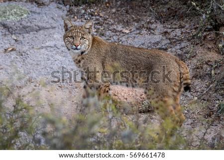 Desert Lynx Ez Canvas