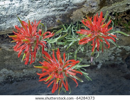 Desert or Early Indian Paintbrush blooms in Zion National Park