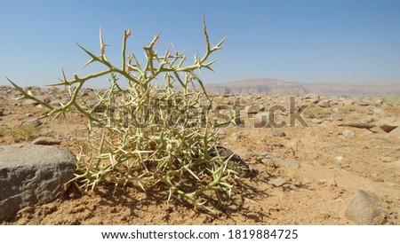 Desert plant. Camel thorn plant. Green bush in the desert. Green grass on dried ground. Desert soil. Desert landscape in summer