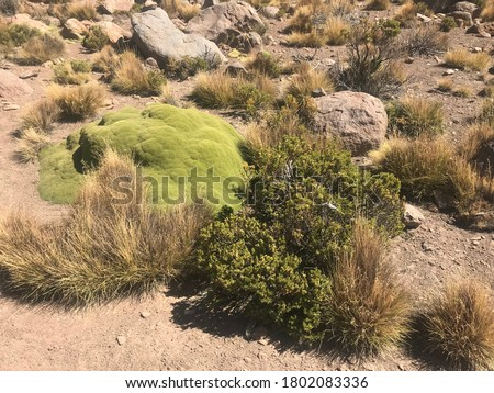 Desert plants in Salar de Uyuni, Bolivia. Puna in Altiplano plateau. View Montane grasslands and shrubs biome. Endemic Azorella compacta Yareta. Tussock grass Festuca orthophylla Paja Brava.Tola bush  Stock fotó ©