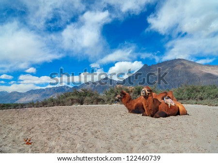 Desert portion in Hunder, Ladakh India with resting double hump camels