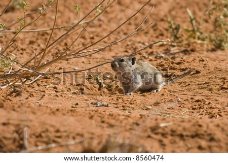 Desert pygmy mouse foraging for food in the Kalahari