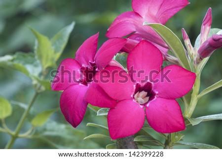 Desert Rose Flowers  pink color
