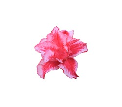 Desert rose, Mock Azalea, Pinkbignonia, Impala lily, Close up single red-pink flower isolated on white background. with clipping path
