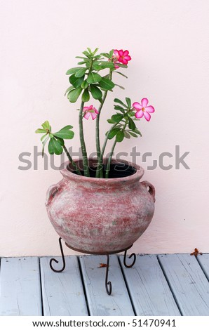 desert rose plant in clay pot on stand - stock photo