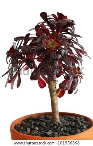 """Desert Rose succulent  """"Aeonium Swatzkopf"""" - stock photo"""