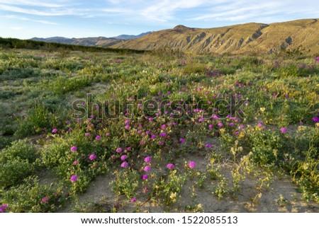 Desert sand Verbena or hairy  sand Verbena wildflower at Anza Borrego Desert State Park, CA, USA Zdjęcia stock ©