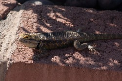 Desert Spiny Lizard in sun and shadow with vegetation and red brick as a backdrop.