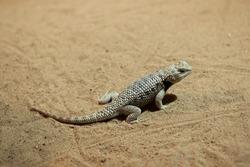 Desert spiny lizard (Sceloporus magister). Wildlife animal.