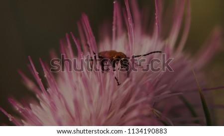 Desert Thistle with Blister Beetle