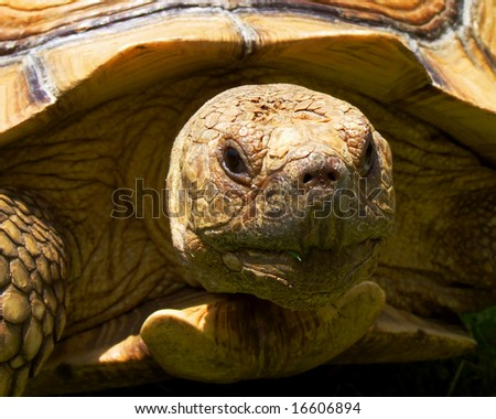 Desert Tortoise - stock photo