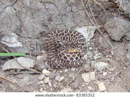 Desert (Western) Massasauga snake, Sistrurus catenatus edwardsi, coiled and rattling in the prairies of Kansas, USA