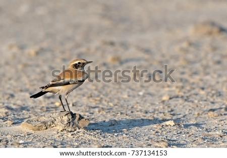 Desert Wheatear(Oenanthe
