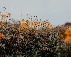 Desert yellow wildflower blooms in Arizona on cloudy day