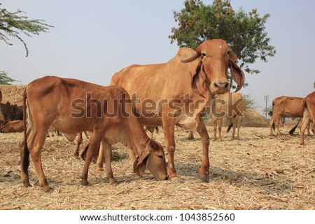 Desi Gir Cows of India