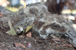 Desiccated carcass of a young raccoon in suburban park