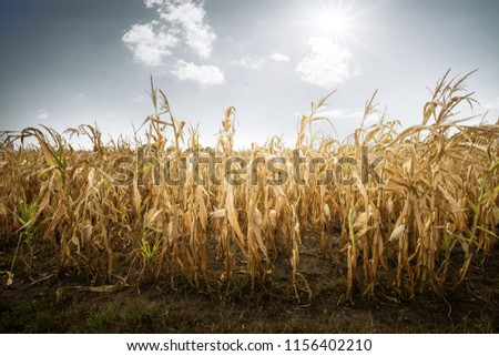 Destroyed harvest due to drought