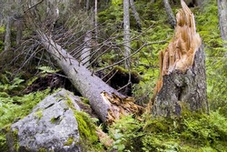 Destroyed tree in forest after a hard storm. National park TANAP, Slovakia