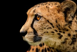Detail cheetah on black background. Detail cheetah. Feline on the black. Very fast feline.  fastest undomestic cat.