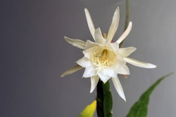 Detail close up and vibrance colors of the blooming Epiphyllum Pumilum (or in Indonesia called Wijaya Kusuma Flower).