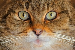 Detail eye portrait of cute cat. Wild Cat, Felis silvestris, animal in the nature tree forest habitat, hiden in the green leaves, Central Europe. Close-up mammal, wildlife nature.