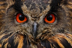 Detail face portrait of bird, big orange eyes and bill. Eagle Owl, Bubo bubo, rare wild animal in the nature habitat, Germany.