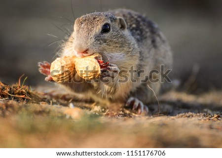 Detail face suslik from family squirel. ute European ground squirrel, suslik Spermophilus citellus with food. Photo from world of wild animals.