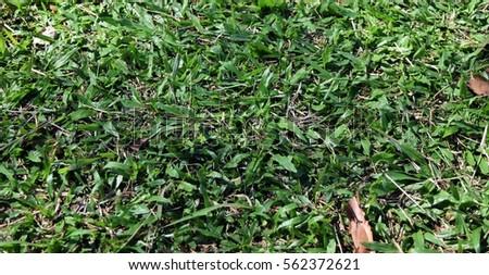 detail green grass in garden for background #562372621