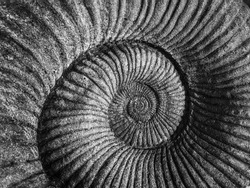 Detail monochrome close-up of the divine geometry of a nautilus shell spiral in a stone fossil background
